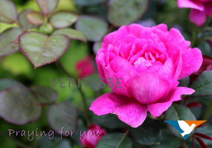 Pink rose by Inspira (Praying for you)