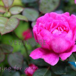 Pink rose by Inspira